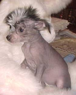 sunny hairless male 7  weeks old.jpg